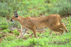 Sleek Caracal Stock Images