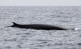 Sleek Fin Whale. A large, sleek fin whale in the Pacific Ocean near California stock images