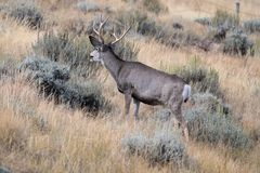 Sleek Gray Mule Deer Buck among Sagebrush. A sleek, gray mule deer buck in a sagebrush and grass meadow near Dubois, Wyoming in the fall. A remnant of velvet royalty free stock photos
