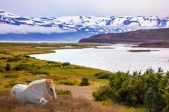 Sleek groomed Icelandic horse grazing Royalty Free Stock Photos