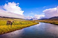 Sleek groomed Icelandic horse Royalty Free Stock Photos