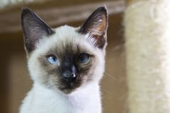 Sleek haired kitten Siamese type Mekong bobtail, tailless Royalty Free Stock Photography