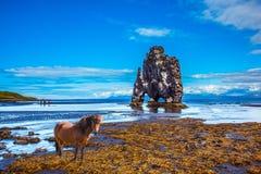 Sleek Icelandic horse on the coastal shelf Stock Image