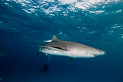 A sleek lemon shark swimming in a clear, deep blue ocean Stock Photo