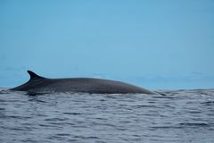 A sleek and majestic fin whale. A beautiful fin whale Balaenoptera physalus in the Atlantic Ocean near the Azores stock photo