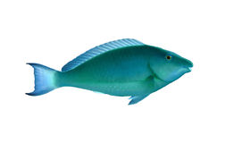 Sleek unicornfish Stock Photo