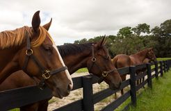 Beautiful yearlings gazing over a paddock fence at a training facility in florida Royalty Free Stock Image