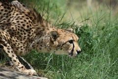 Sleeking Crouching Cheetah Cat Prowling in Grass royalty free stock image
