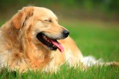 Sleep. A golden retriever dog in the sunny royalty free stock photo