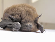 Sleep of bat Stock Photography