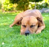 Sleep bull terrier Stock Images