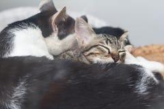 Sleep cat. Young cat sleep with mom Royalty Free Stock Photo