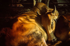Sleep. Cow family in my uncle farm thailand Stock Photo