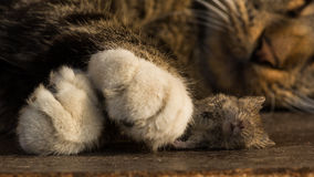 The Sleep of Death. Mouse under the killer's paw royalty free stock photography