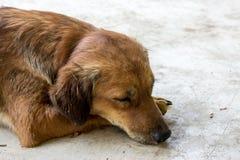 Sleep dog Royalty Free Stock Images