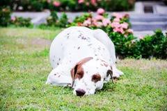 Sleep dog Royalty Free Stock Photography