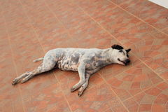 Sleep dog on the ground Royalty Free Stock Image