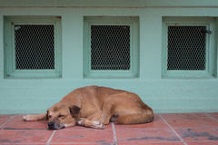 Sleep dog in sweet dream on red floor,cute puppet Royalty Free Stock Photography