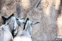 Sleep donkeys Stock Image