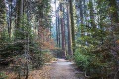 Sleep door Bos in Daling met de Sequoiacalifornische sequoia T van de Pijnboomkornoelje stock foto's