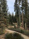 Sleep door de Pijnboombos van Californië in Siërra Nevada Mountains royalty-vrije stock foto's