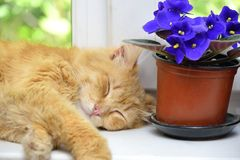 Sleep ginger cat on a window sill Stock Image