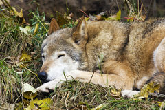 Sleep gray wolf Stock Photography