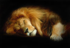 Sleep lion. On black background. Oil painting Stock Photography