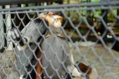 Sleep monkey. Two monkeys sleep in the zoo stock photography