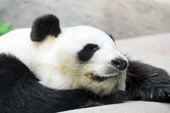 Sleep Panda Royalty Free Stock Image