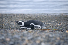 Sleep penguin Royalty Free Stock Photography