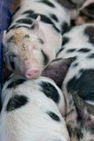 Sleep in pigs Royalty Free Stock Image