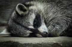 Sleep raccoon. Stock Image