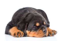 Sleep rottweiler puppy.  on white background Royalty Free Stock Photography