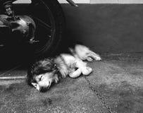 Sleep. See dog sleep good expresion on sleep Stock Photos
