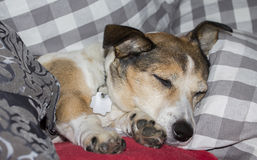 Sleep. Ing jack russel terrier dog on a couch between pillows Stock Photo