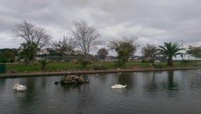The sleep of the swan. Torquay Park 2014 Stock Image