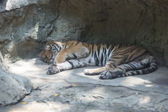 Sleep tiger Royalty Free Stock Photo