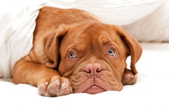 Sleep tight. Small cute puppy is ready for sleep Stock Images