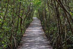 Sleep van de de Mangrove de bosaard van de boomtunnel in Laem Phak Bia Pet royalty-vrije stock afbeeldingen