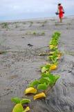 Sleep van installaties op Esmeraldas-strand Royalty-vrije Stock Foto's