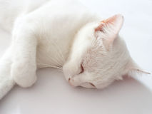 Sleep white cat. Bed time for white cat royalty free stock photos