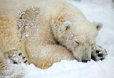 Sleepeng polar bear. Royalty Free Stock Photos