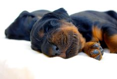 Sleeper. Small puppy sleep like top Royalty Free Stock Photography