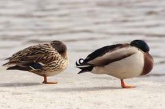 Sleepin ducks Royalty Free Stock Image