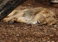 Sleeping. A photo of a lion royalty free stock photos