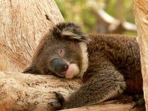 Sleeping. A koala sleeping in a eucalyptus tree Royalty Free Stock Images