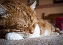 Sleeping. Cat sleeping on a bed Stock Photography