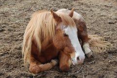 Sleeping. Horse sleeping in Pasture Royalty Free Stock Image