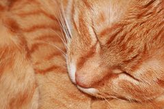 Sleeping. An orange cat sleeping with narrow depth of field (focus on the eyes Royalty Free Stock Photography